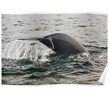 Diving pilot whale Poster
