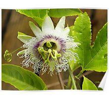 My Passiflora Poster