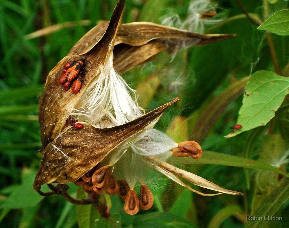 Once upon a Milkweed... Milkweed whimsy by Robin Clifton
