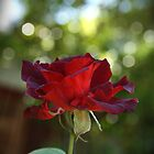 Just a rose by Ginger