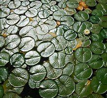 Lily Pads,Lake Washington by Jim Scolman