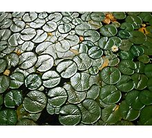 Lily Pads,Lake Washington Photographic Print