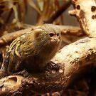 Pygmy Marmoset - Dwergzijdeaapje by steppeland