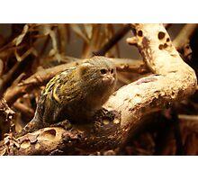 Pygmy Marmoset - Dwergzijdeaapje Photographic Print