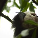 Beethoven among the marmosets - Beethoven onder de Witgezichtaapjes   by steppeland