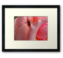 A fly in the pinkest of ointments Framed Print