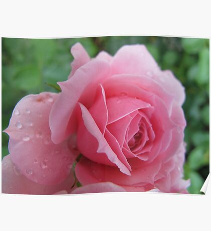 Songbird Rose Poster