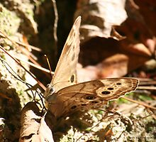 Appalchian Brown Butterfly by Terry Aldhizer
