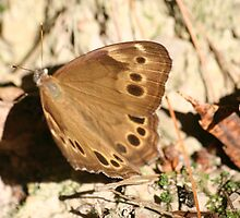 Appalachian Brown Butterfly by Terry Aldhizer
