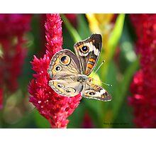 The Not So Common Common Buckeye Butterfly III Photographic Print