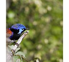 Variegated Fairywren Photographic Print