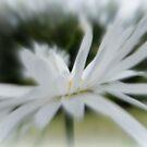 Dreamy Daisy by ElsT