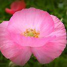 Pretty Pink Poppy by ElsT