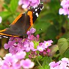Butterfly ~ Red Admiral II by Kimberly Chadwick