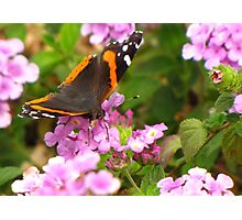 Butterfly ~ Red Admiral II Photographic Print