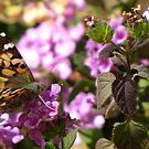 Butterfly ~ Painted Lady II by Kimberly Chadwick