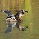 Young Pied-billed Grebe by Bill McMullen