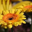 Gerbera by reflector