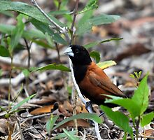 black headed or chesnut munia (Lonchura atricapilla) by Grandalf