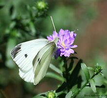 Cabbage White Butterfly  by Terry Aldhizer