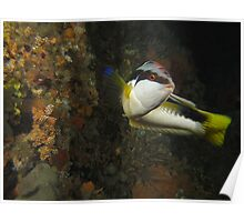 Halifax Comb Wrasse Poster
