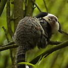 White-headed Marmoset - Witgezicht aapje by steppeland