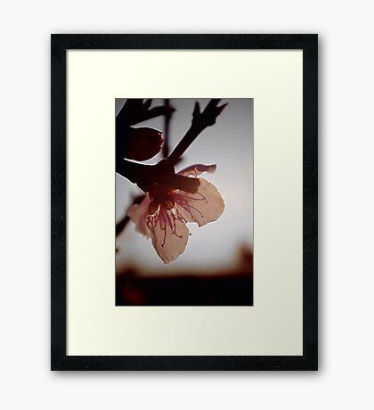 Blossoming light Framed Print