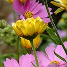 Fall Garden Flowers - Cosmos and Calendula by Tracy Wazny