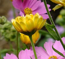 Fall Garden Flowers - Cosmos and Calendula by Tracy Faught