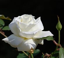 White Rose by Don Wright