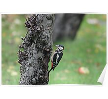 Great Spotted Woodpecker  - male Poster