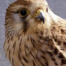 Kestrel by Paul Holman