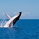 Humpack Whale -  Breaching 1 by Jaxybelle