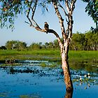 Bird of prey, Yellow waters - Kakadu by Jari Vipele
