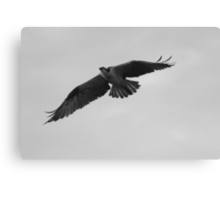 Osprey flight Canvas Print