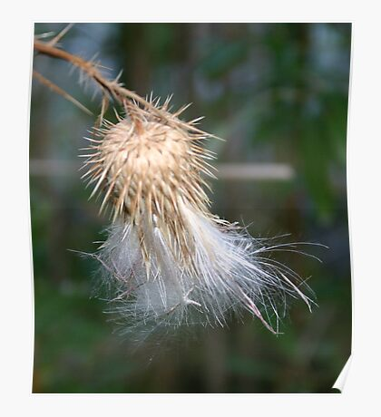fluffy seeds,spiny pod Poster