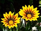 Gazanias! by William Brennan