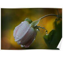 Single elegant rose Poster