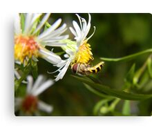 A hungry hoverfly. Canvas Print