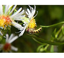 A hungry hoverfly. Photographic Print