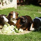 Guinea Pigs! by m4tthew