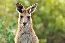 Wild Thing - Australian Kangaroo by Barbara Burkhardt
