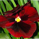 PANSY'S LIKE VELVET AND AS RED AS WINE by Magriet Meintjes