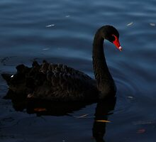 Elegant Black Swan by Paul Bettison