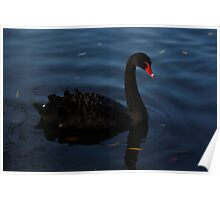Elegant Black Swan Poster