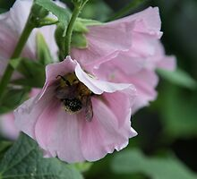 Hollyhock by Halobrianna