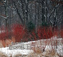 Red-twigged Dogwood at Heron Pond by Victoria Jostes