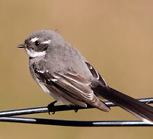 Bird on a wire... Grey Fantail by mosaicavenues