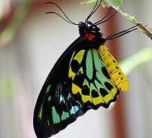 Butterfly Beauty by patti4glory