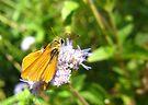 Butterfly ~ Orange Skipperling by Kimberly Chadwick